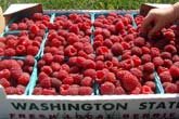 You Pick Raspberries in Whatcom County at Haugen's Berry Farm!
